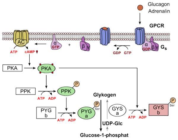 Der Glykogen-Stoffwechsel: (Bildquelle: Wikimedia / Yikrazuul ; CC Lizenz)