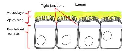 "Problemfall Leaky Gut: Sind die sogenannten ""tight junctions""(Bildquelle: Wikimedia.org / LadyofHats ; CC Lizenz)"