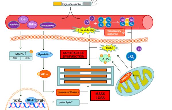 Rauchen, Proteinsynthese und Proteolyse