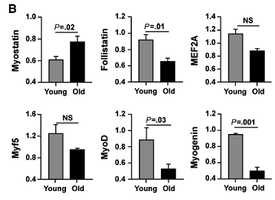 Myostatin und Myf Konzentration in jungen und alten Menschen (bzw. deren Muskelzellen). (Bildquelle: Ergo-Log (2016) / Gutierrez-Salean et al. (2014))