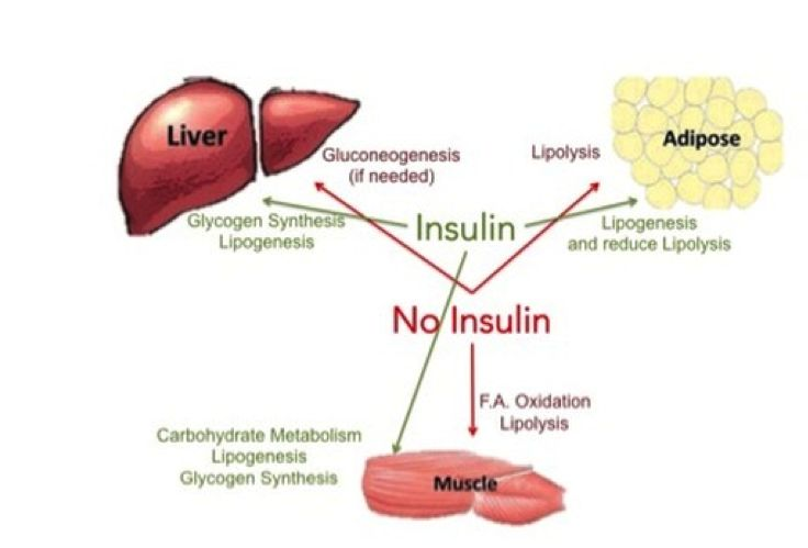 Insulinwirkung: Muskeln, Leber und Fettgewebe