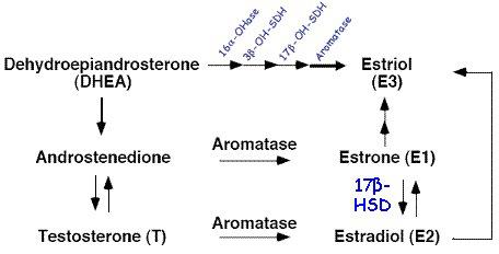 In Männern verhält sich die Östrogenproduktion stets proportional zur Androgenproduktion.