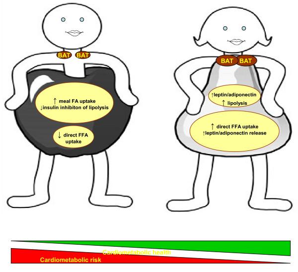 Schlüsselunterschiede im Fettgewebe. Verglichen zu Männern, werden Frauen durch eine erhöhte Menge an braunem Fettgewebe (BAT) und vergrößerten peripheren Fettdepots charakterisiert, während intra-abdominale Fettdepots bevorzugt in Männern erhöht sind (Bildquelle: [7])