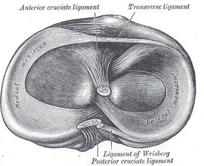 (Bildquelle: Wikimedia ; CC Lizenz). Mensiken des Kniegelenks beim Menschen
