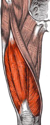 (BIldquelle: Wikimedia / Michael Gasperi / Gray's Anatomy ; CC Lizenz)