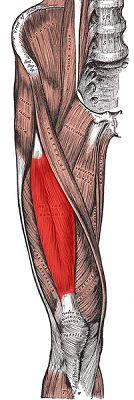 Gerader Schenkelmuskel (Rectus Femoris)