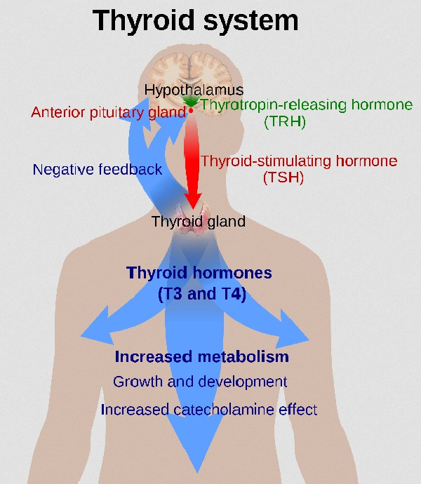 The Thyroid System (Source: Wikimedia.org / Mikael Häggström ; CC Lizenz)