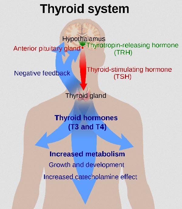 Bio Signature: Sind Hormone der Schlüssel zum Gewichtsverlust?