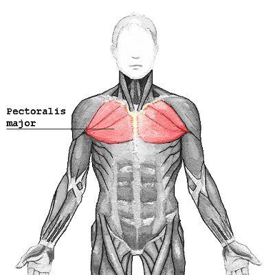 Die Brustmuskulatur wird von schnell-zuckenden Muskelfasern (~60%) dominiert, daher sollte hier ein eher niedriger bis mittelhoher Wiederholungsbereich zum Einsatz kommen. (Bildquelle: Wikimedia)
