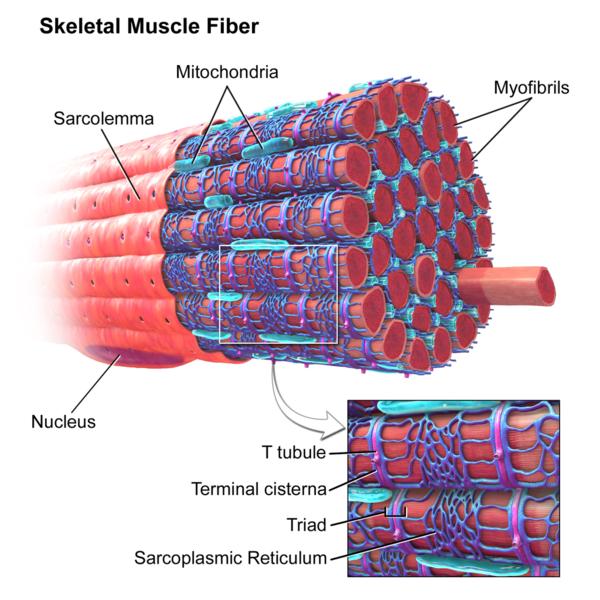 Muskelfaserspezifische Hypertrophie: Aufbau einer Muskelfaser