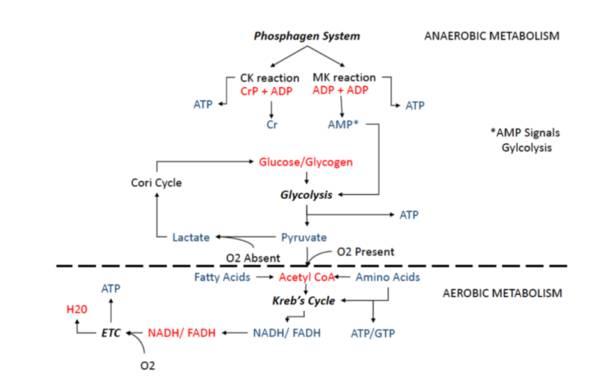 Die Energiesysteme des menschlichen Körpers