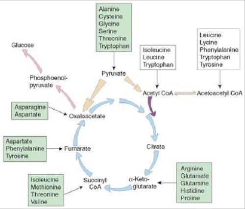 BCAAs | Was sagt die Wissenschaft dahinter?