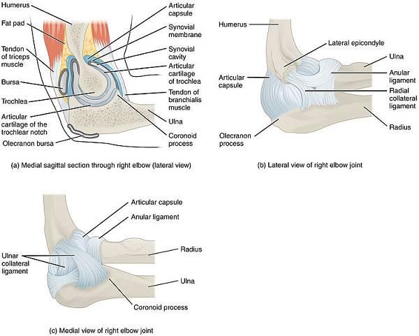 Das Ellenbogengelenk | Scharnier- und Schaltstelle
