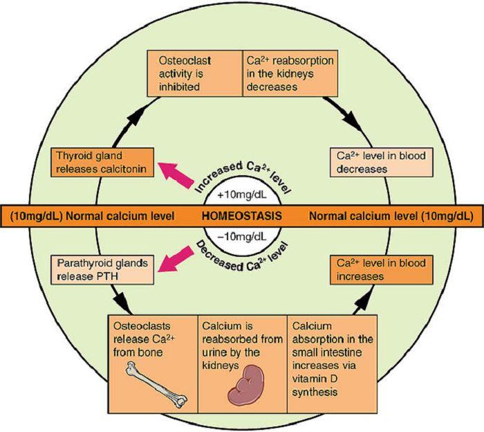 Die Kalzium-Homöostase - Ist Protein schlecht für Nieren und Knochen?
