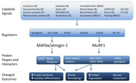 Glycin senkt Atrogin-1 und MuRF1 Expression