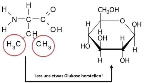 Valin: Aufbau von Glukose