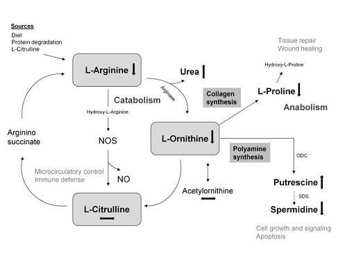 Arginin | Was sagt die Wissenschaft?