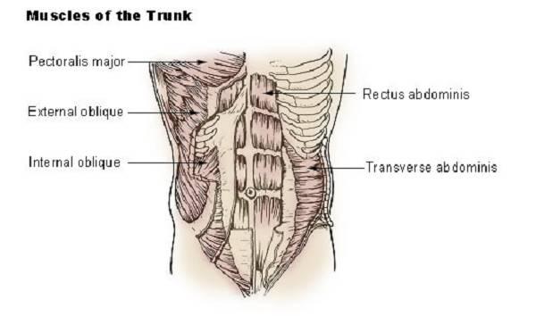 Anatomische Merkmale der Bauchmuskulatur