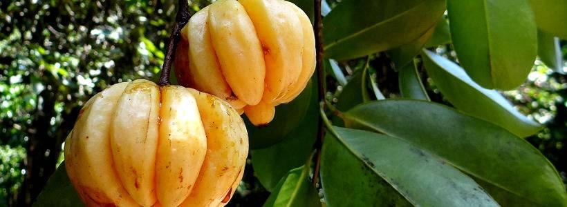Garcinia Cambogia: Fatburner oder Mogelpackung?