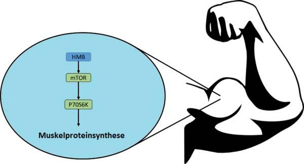 Molekulare Mechanismen von HMB
