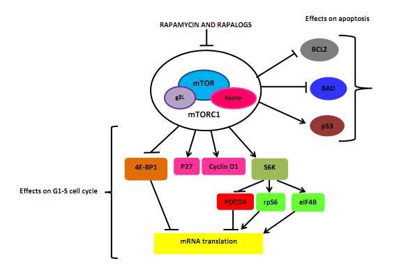 Stimulation des anabolen Signalpfads (mTOR) durch Leucin