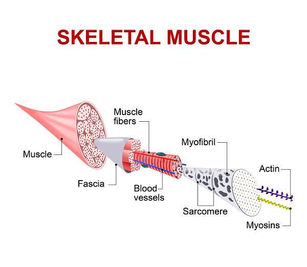 Aufbau der Muskulatur inkl. Faszie