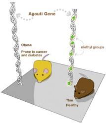 Agouts-Gen: Epigenetischer Einfluss durch Nahrung