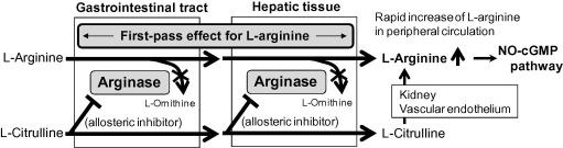 L-Citrullin als Trainingsbooster sinnvoll? Das sagen Studien & wissenschaftliche Untersuchungen