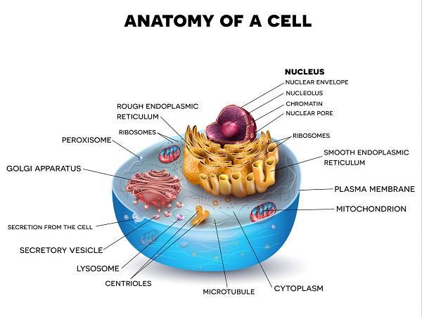 NO & Mitochondriale Biogenese(