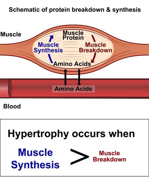 Der Protein Turnover: Kombination aus Proteinsynthese und Proteinabbau