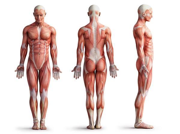 Lange,schlanke Muskeln: Muskeln haben einen fixierten Ursprung und einen Ansatzpunkt