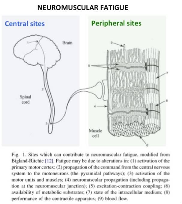 Erschöpfung des Zentralnervensystems Vs. periphere Erschöpfung.